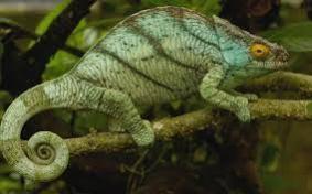 chameleon-unquintessential-leader