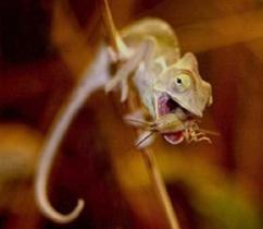 Predatory chameleon
